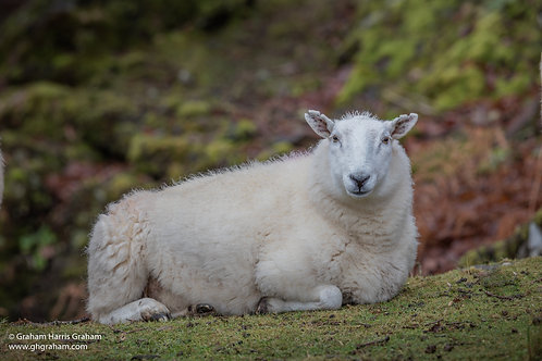 Sheep, Wester Ross (Print Only)