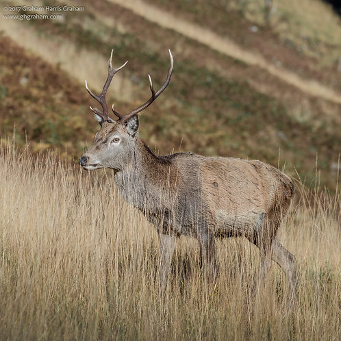 Highland Stag, Glen Etive, Lochaber