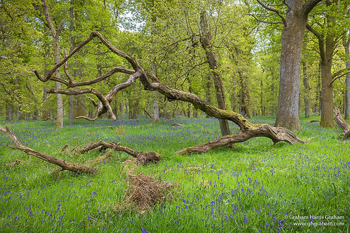 Bluebell Wood, Kinclaven, Perthshire (Print Only)