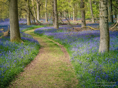 Bluebells, Kinclaven, Perthshire (Print Only)