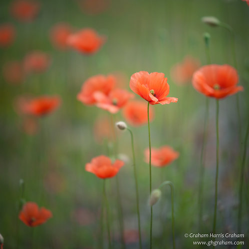 Poppies, Perthshire (Print Only)