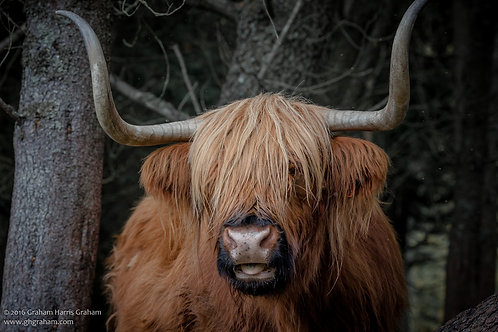 Highland Coo, Trossachs (Print Only)