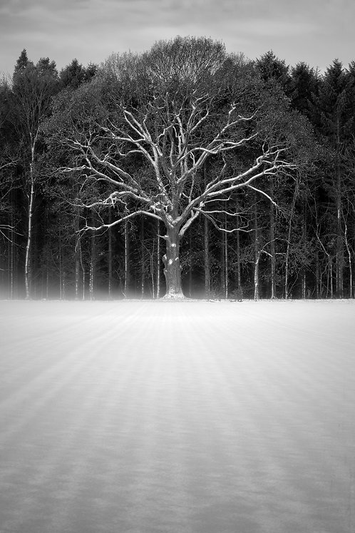 Tree of Life, Airth, Falkirk (Print Only)