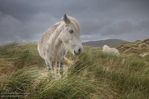 Luskentyre Ponies, Isle of Harris, Hebrides (Print Only)