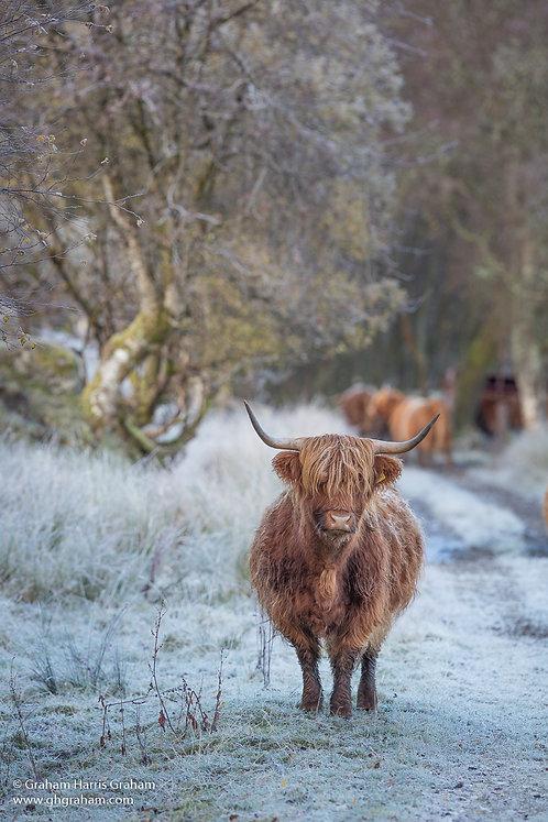 Hairy Coo, Glen Dochart, Stirlingshire (Framed)