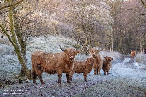 Highland Coos, Glen Dochart, Stirlingshire (Print Only)