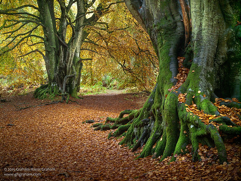 Ancient Beeches, Kinclaven