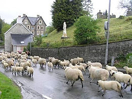 Sheep in Llangammarch