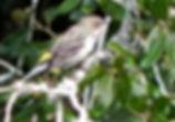 yellow rumped warbler Bob Anderson cropp