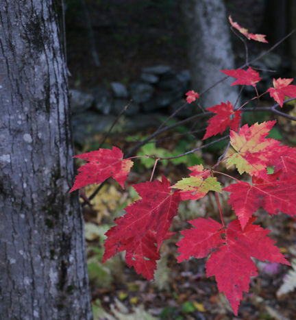 red maple fall colors.jpg