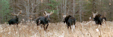 4 moose color corrected cropped.jpg