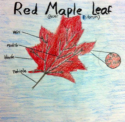 FG red maple cropped.jpg