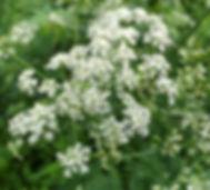 Jen Garrett chervil flower.jpg