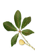 aa-Mongongo-fruit-leafe%25C2%25A9Willem-