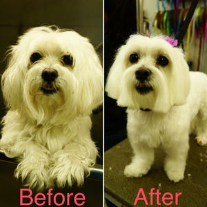 Maltese Dogs Caring Tips