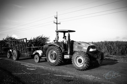 Sugar Cane Worker