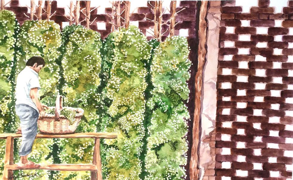Drying Grapes in Turpan