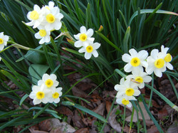 Daffodils at River Park