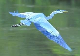Blue Heron at River Park on the Chattahoochee River