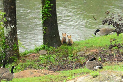 Two foxes at River Park