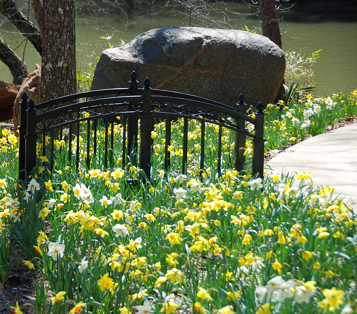 Daffodils at River Park