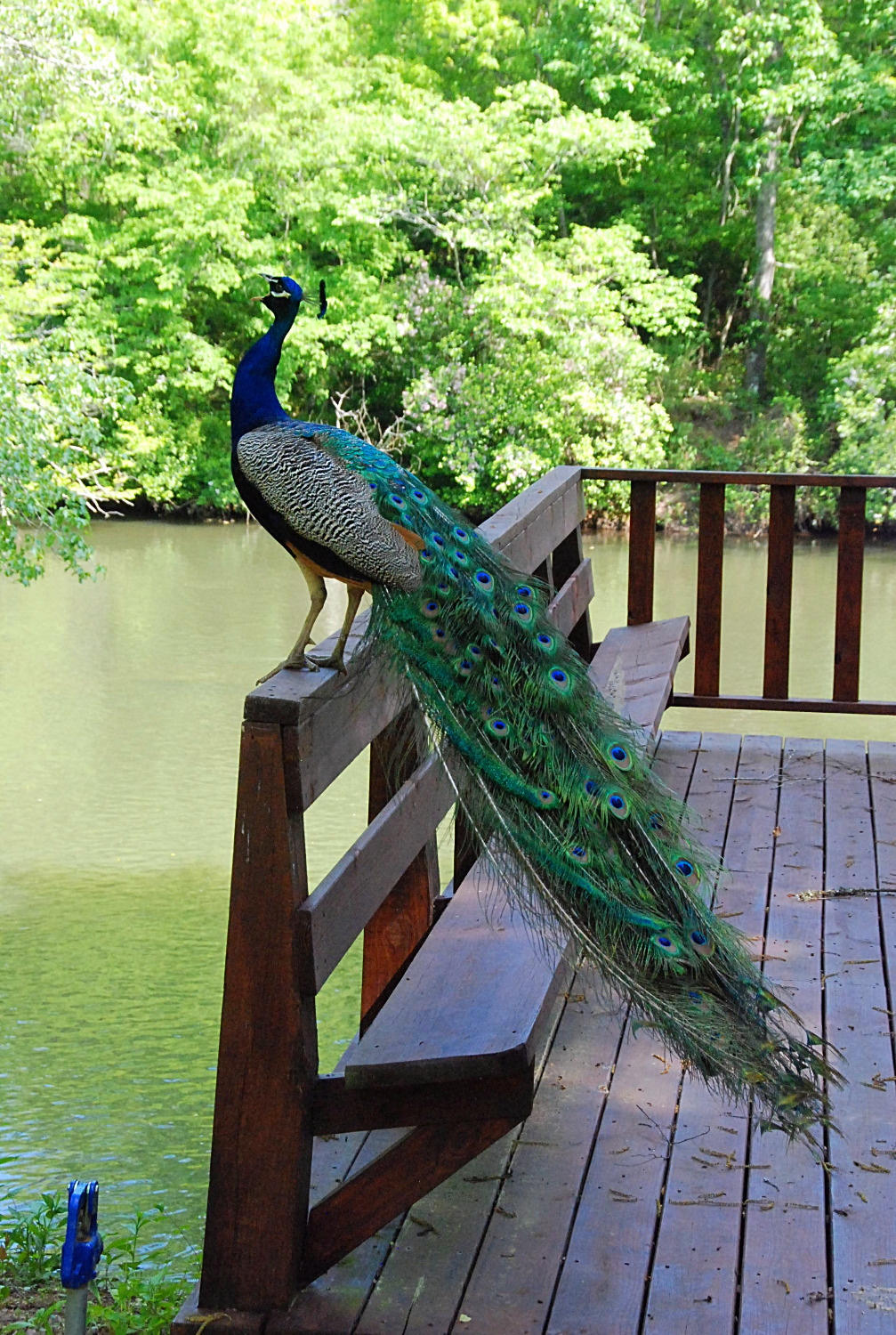 Peacock hatched at River Park