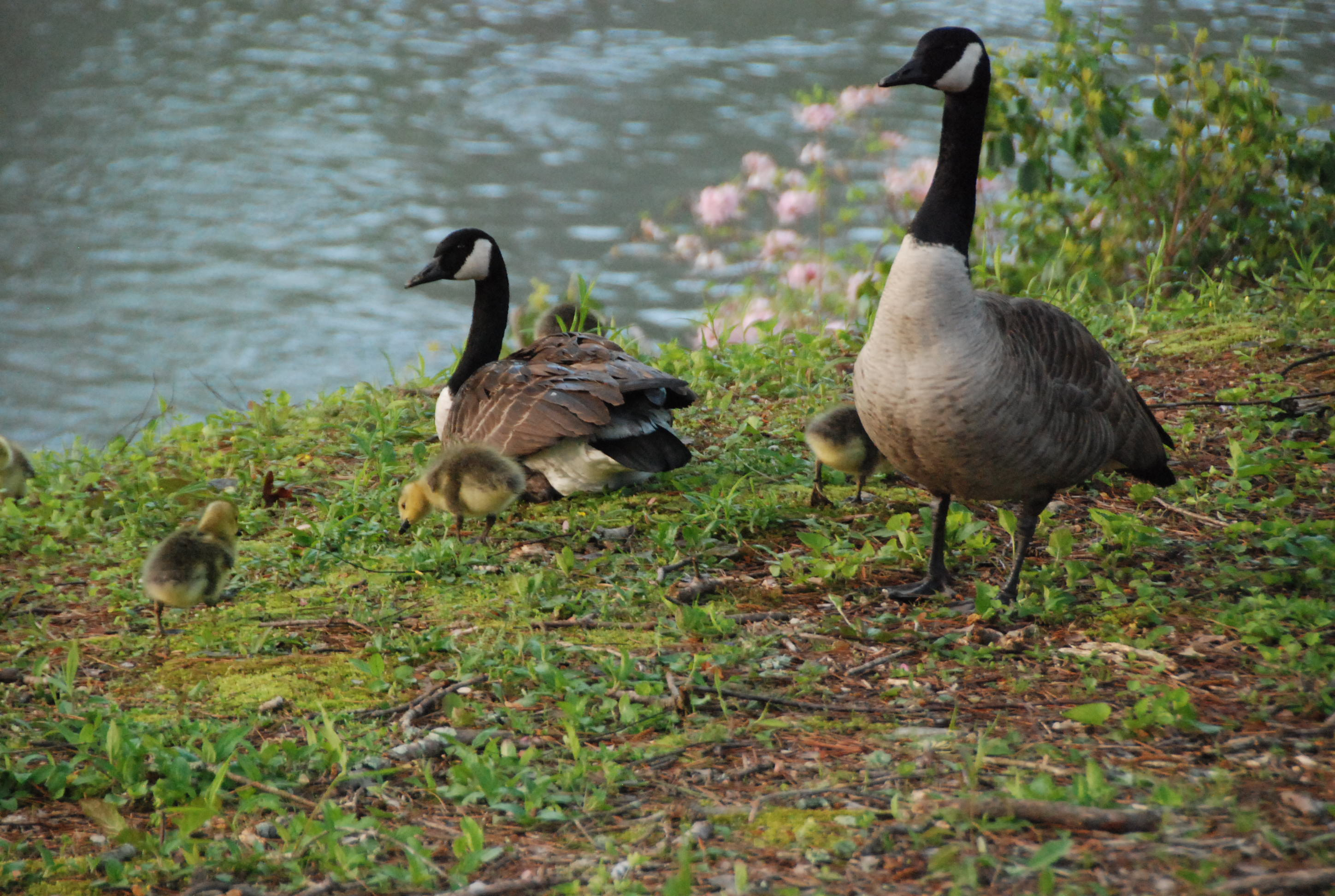 Wild Geese & Goslings at River Park