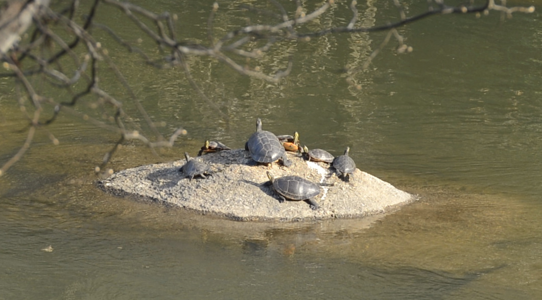Turtles at River Park