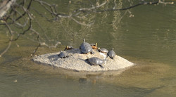 Turtles at River Park