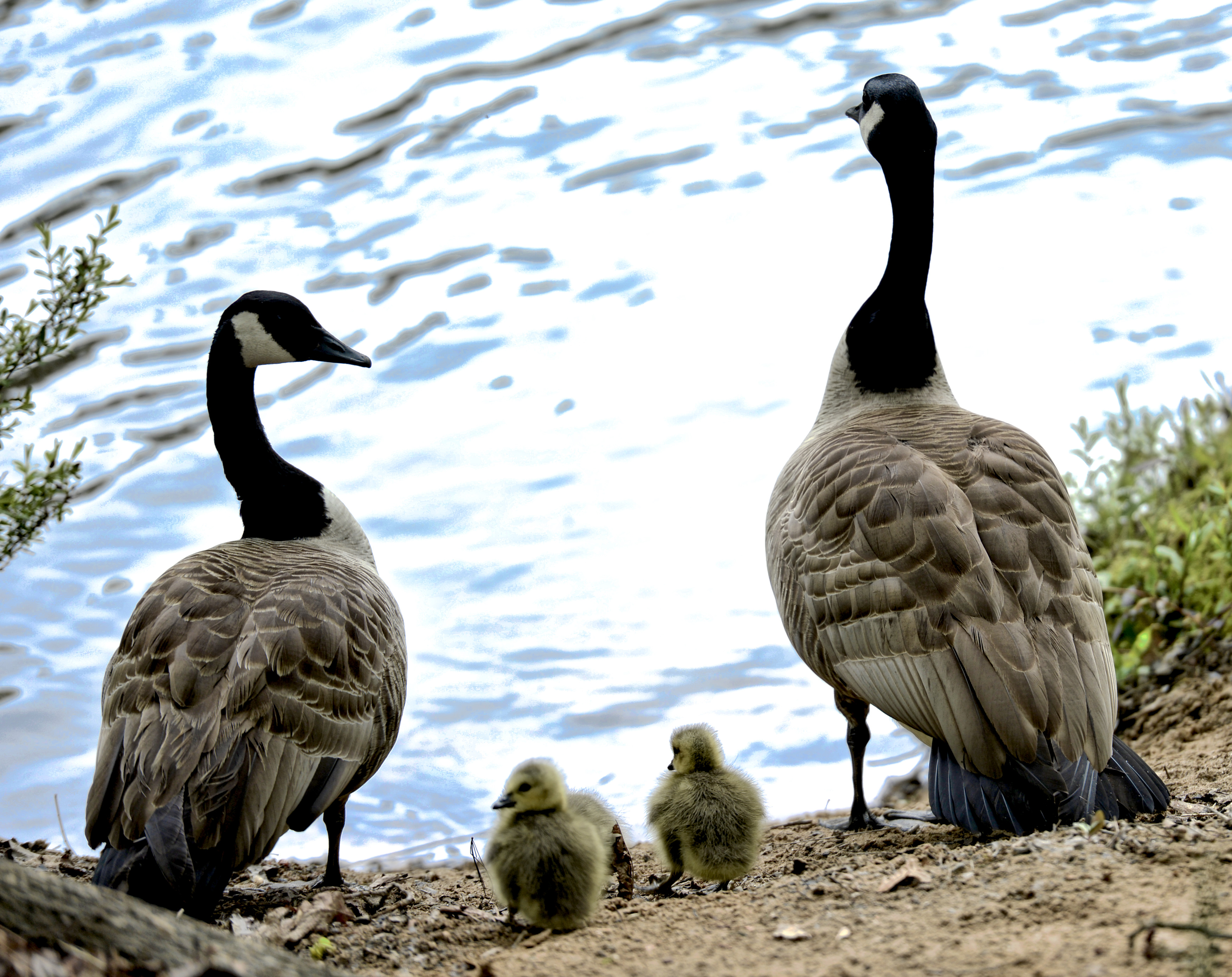 Wild Geese at River Park