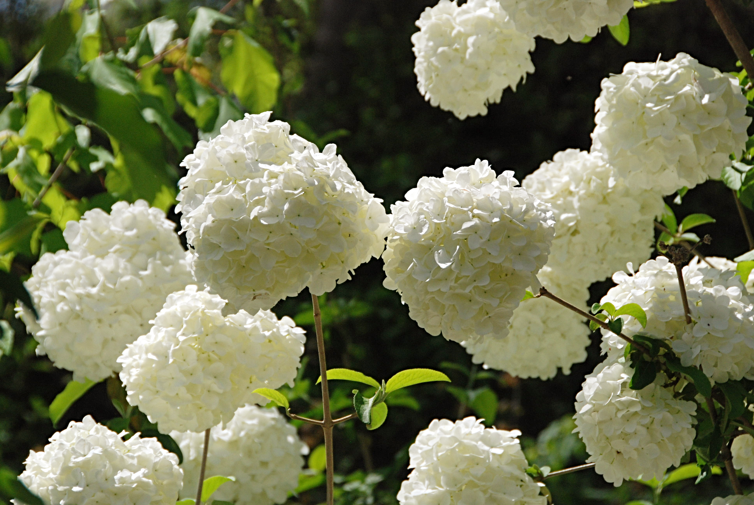 Snowballs in Bloom at River Park