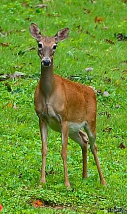 Deer at River Park_edited