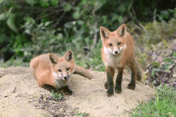 Foxes at River Park