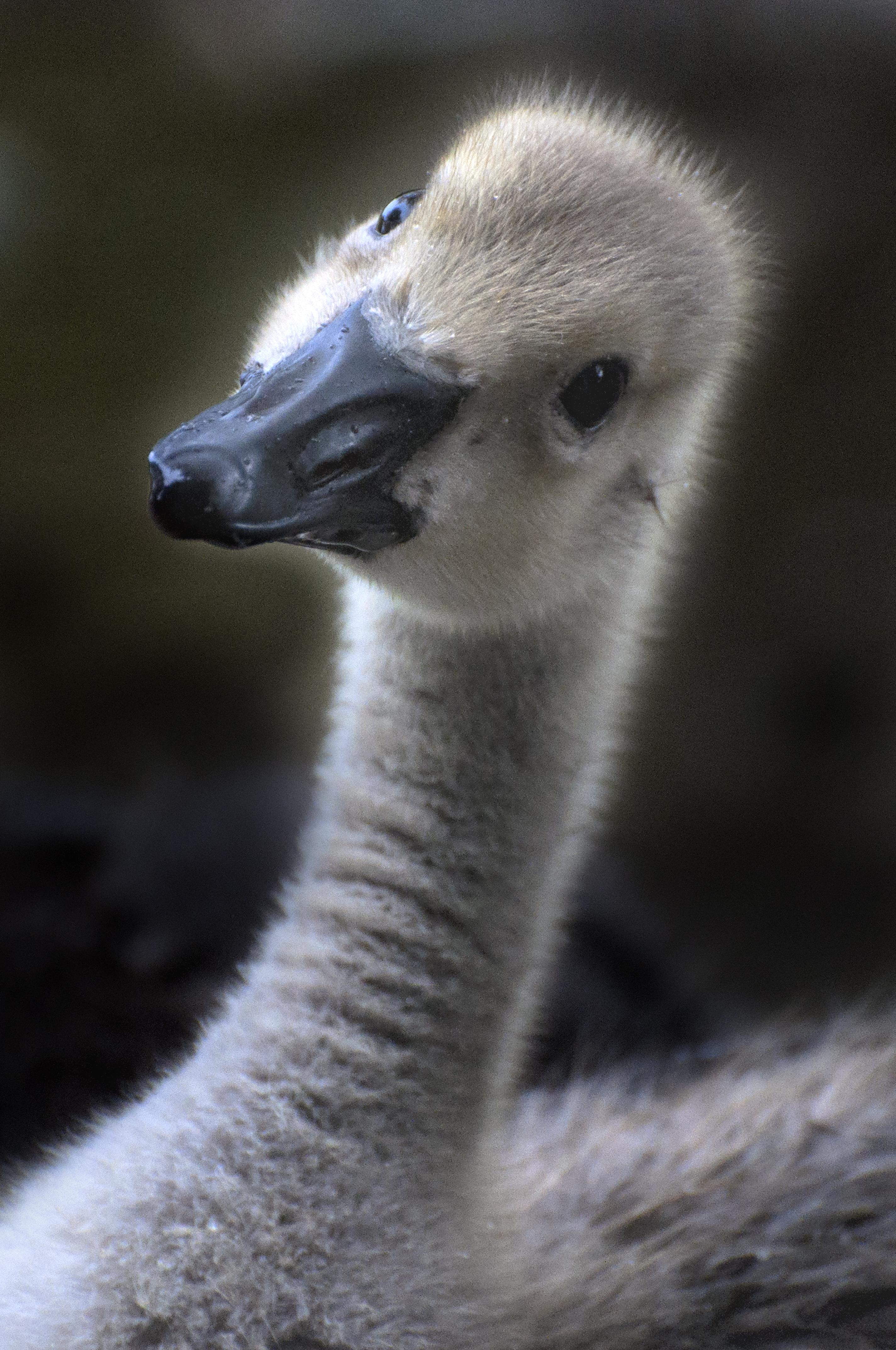Gosling Face.jpg