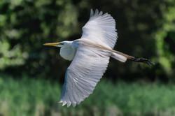 Flying Egret 1.jpg