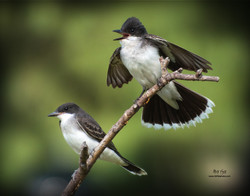Eastern Kingbirds 11x14.jpg