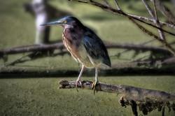 Green Heron 1a.jpg