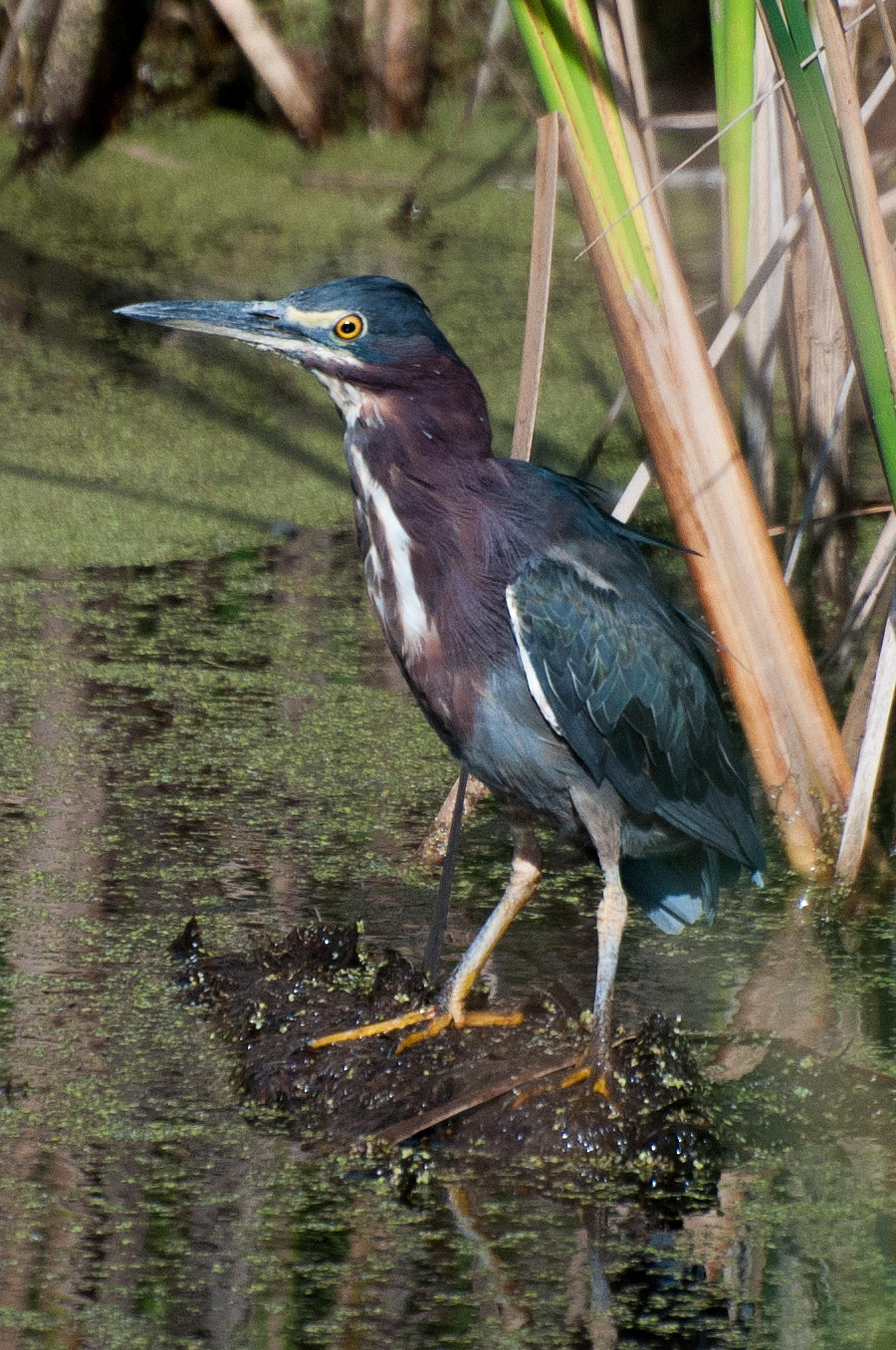Green Heron 2.jpg
