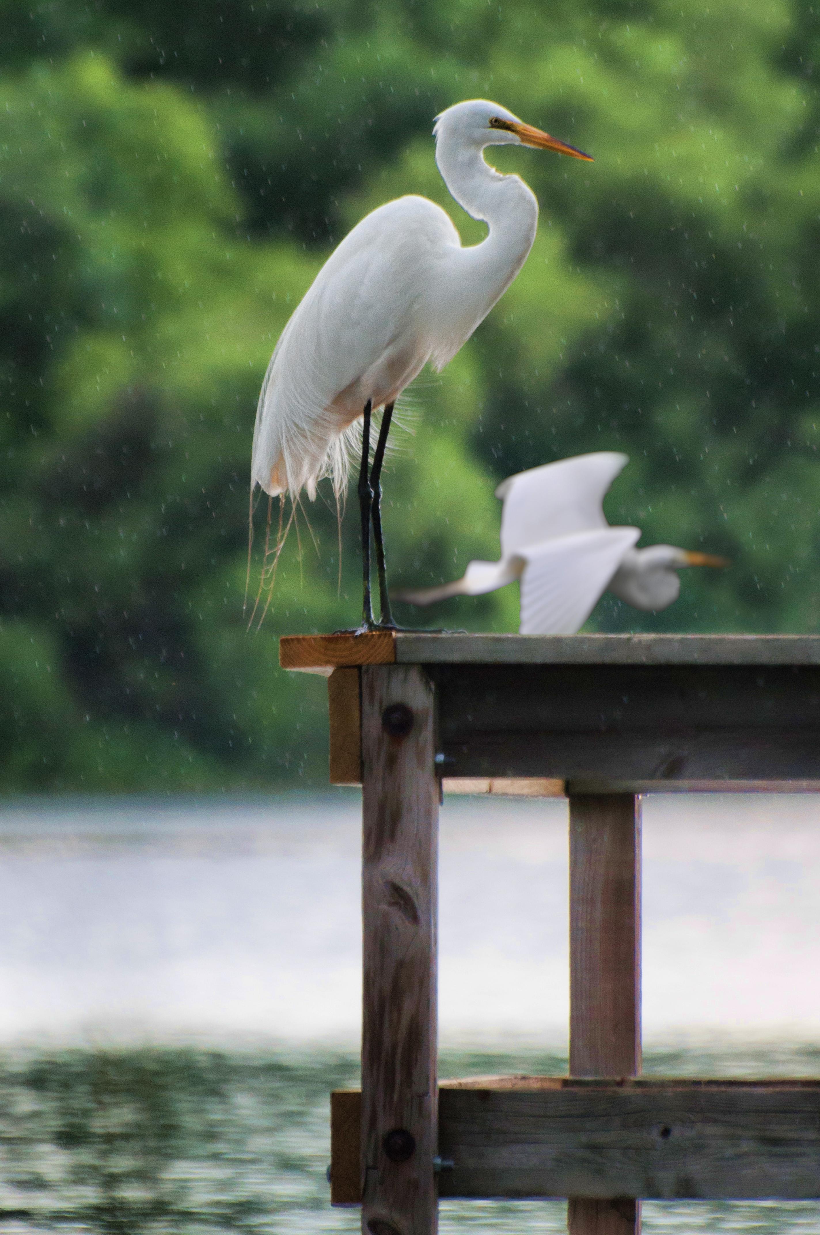 Egret in the Rain.jpg