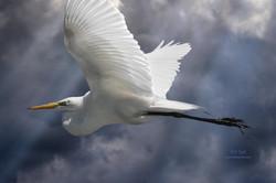 Stormy Egret.jpg
