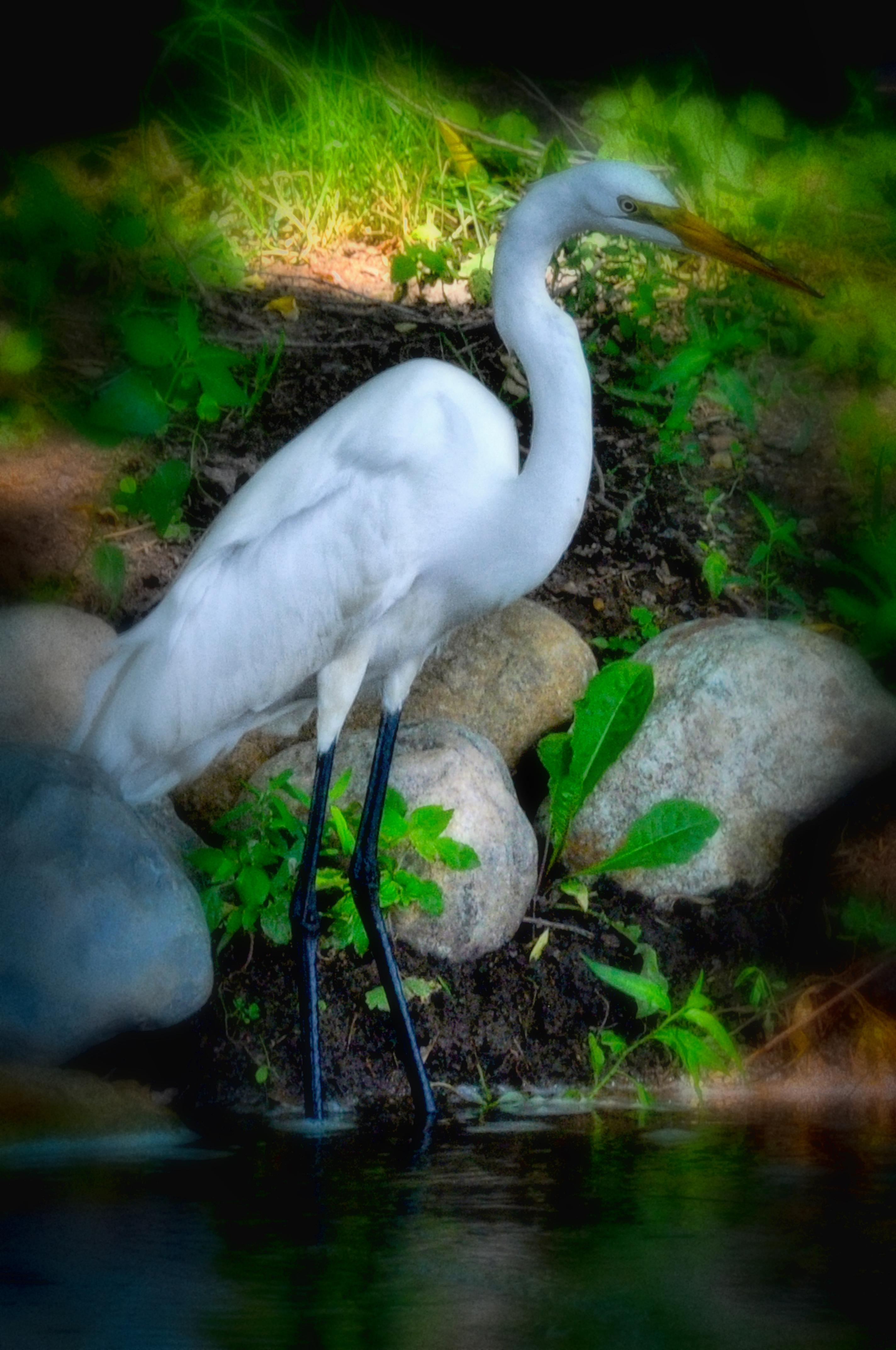 Egret Portrait (1 of 1).jpg