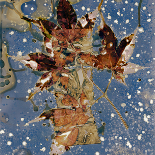 Snow Falling on Maple Leaves