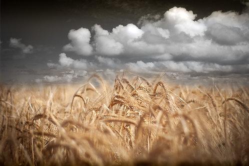 Wheat no.2