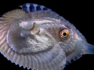 Scovato sui fondali del Golfo Argonauta è mollusco dell'Anno
