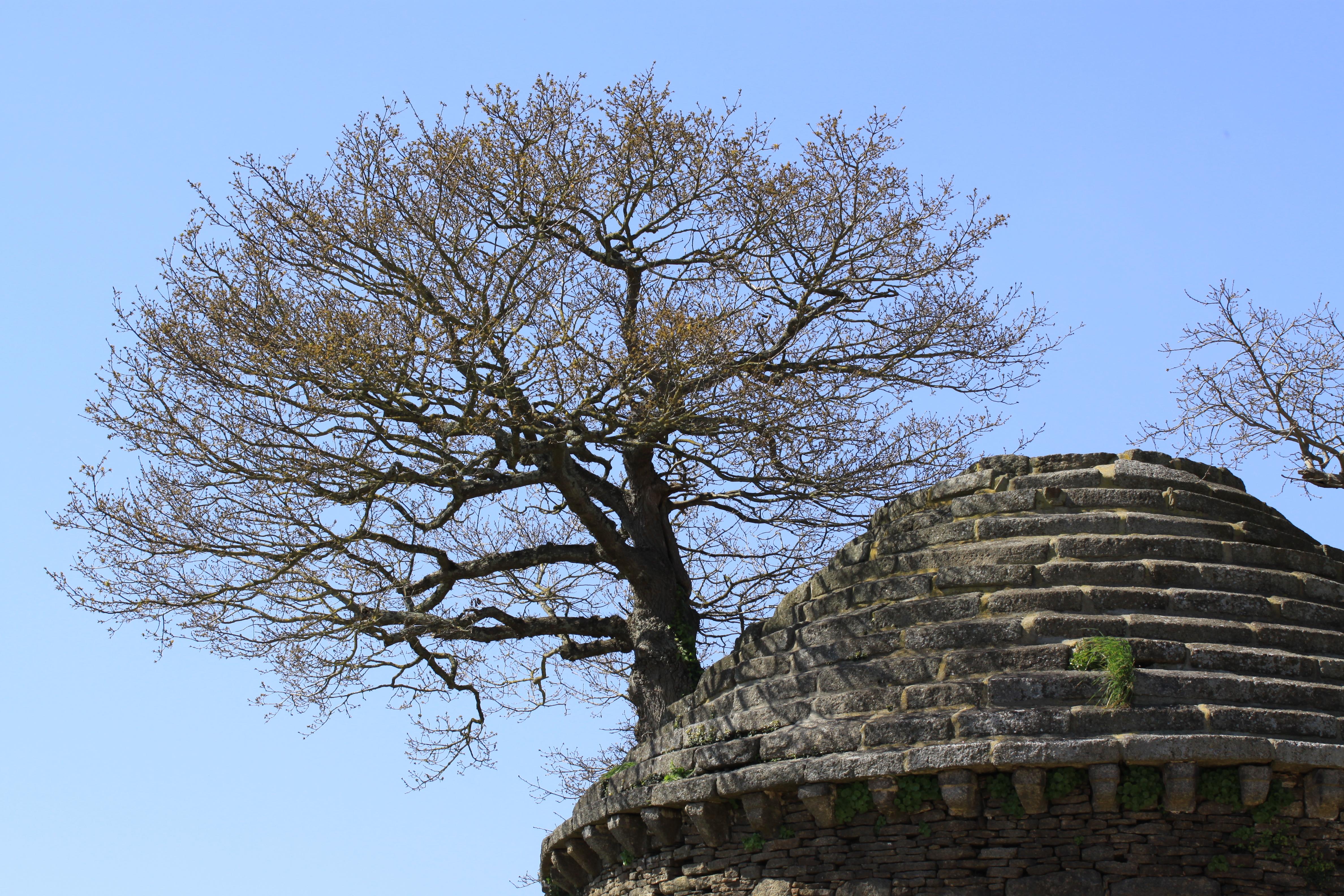 Chêne de Bégard