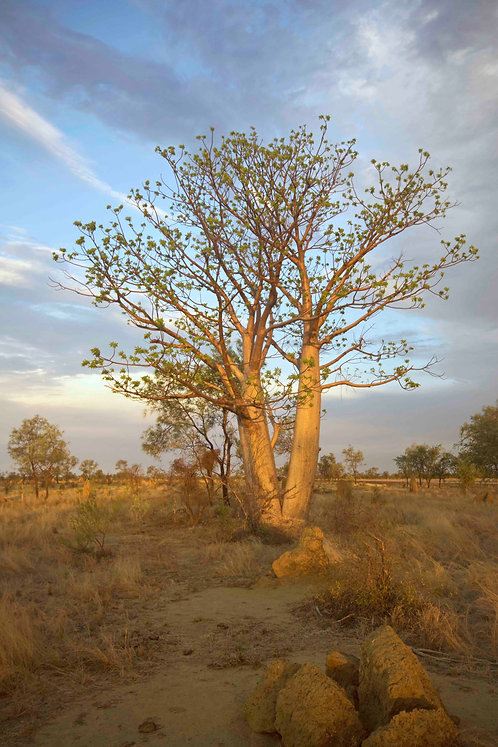 Boabab Tree Magic LIght
