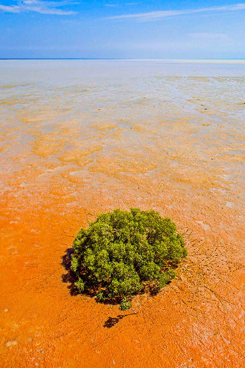 Roebuck's Lone Mangrove