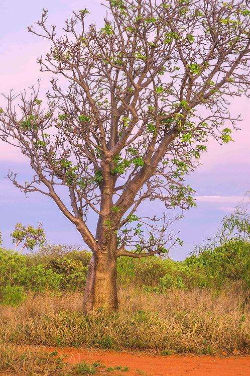 Gantheaume Boabab Tree Sunset