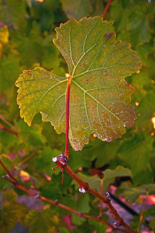 Green WIne Tree Leef