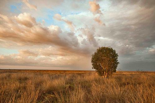 Roebuck Pians Lone Tree